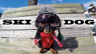 'SKI DOG'  Crusoe the Wiener Dog Loves Skiing