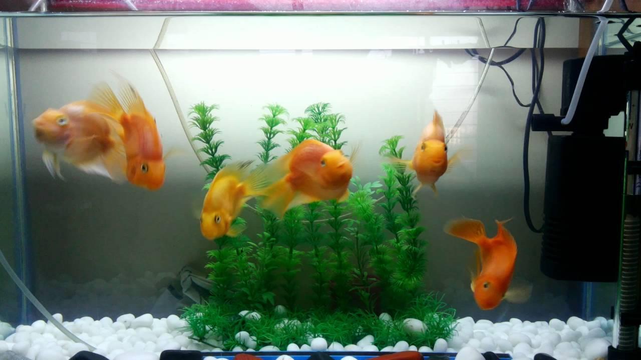15 gallon red parrot fish aquarium youtube for 15 gallon fish tank