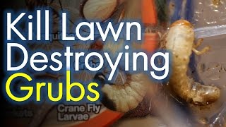Patchy Lawns? Get rid of the Grub Worms  First.