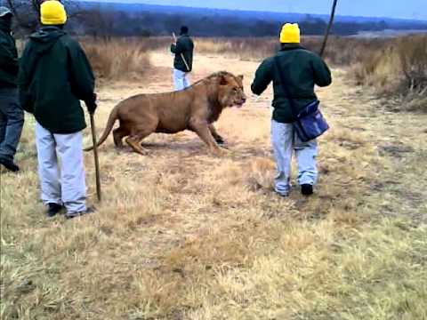 Lion taking food from guides pole.