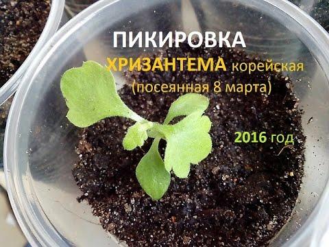 Кохия: выращивание, уход и применение