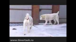 Собаки питомника ТИМЕРТАШ г. Тюмень (март 2014 года)