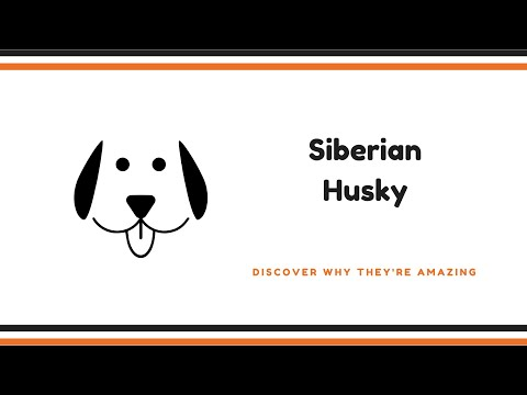 Siberian Husky Facts - dogs 101 - siberian husky - top dog facts about the siberian husky