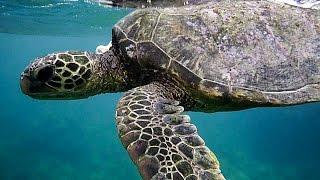 3 Flipper Turtle!  -  Marine Life at Ahihi Kinau Reserve - 2016