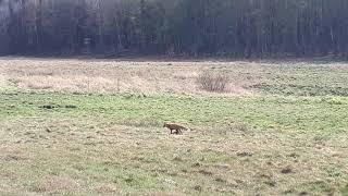 Lis na łące