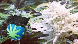 FREAKS OF CANNABIS - Marijuana Plant Mutations