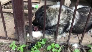 Кавказец ловит и поедает кролика. Часть 2. Моя кавказская овчарка Жаклин. Дачная Жизнь ТВ.