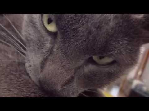 Korat Cat - V01  Chuchar
