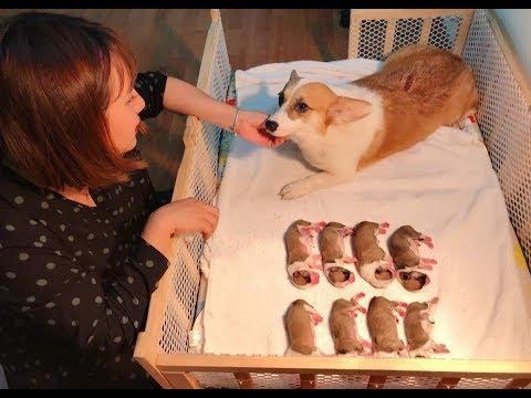 M.ổ đ.ẻ cho chó Meo – nhà Mật đón 8 bé Corgi sơ sinh^^