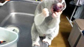 Slow Loris eats the grape