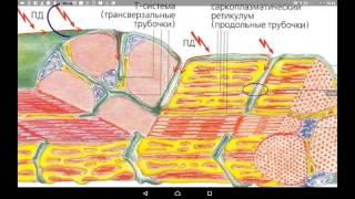 видео Мышечные сокращения