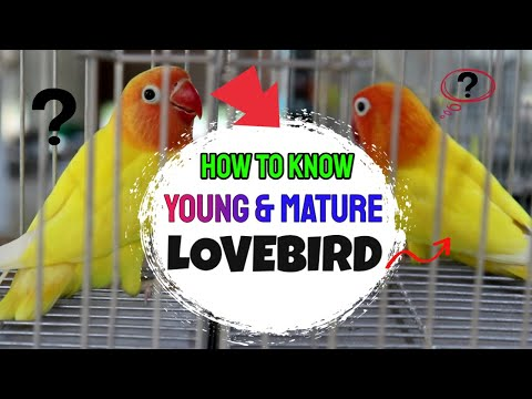 DIFFERENCE OF YOUNG & MATURE AFRICAN LOVEBIRDS (Yellow Bull)