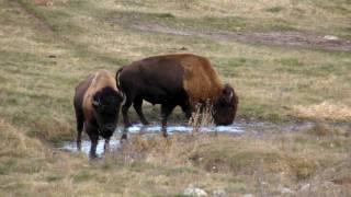 the buffalo farm on the way to rice lake ontario canada