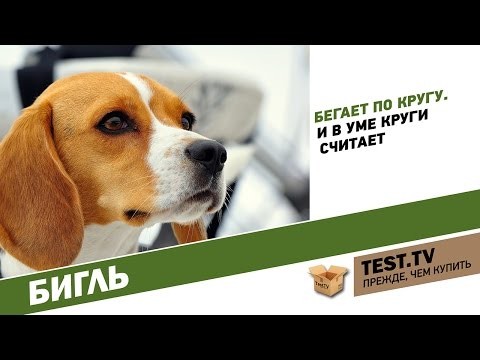 TEST.TV: Бигль собака которая бегает по кругу. Beagle dog with english subtitles.