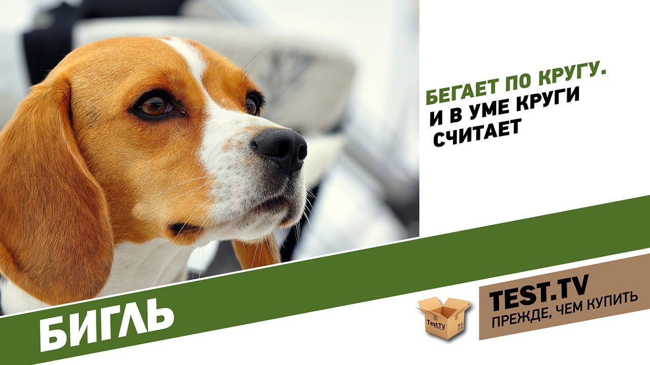 Описание породы собак бигль, его стандарт и характеристики, уход за. Охота с биглем; как выбрать щенка породы бигль; цена щенков; статьи о.