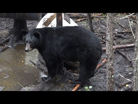 HUNTER BAGS LARGE FALL BLACK BEAR WITH BOW!