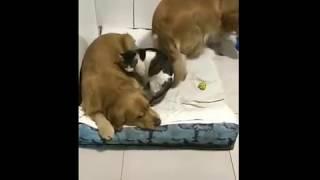 Хозяин заснял, как двое его собак и кошка укладываются спать каждый вечер