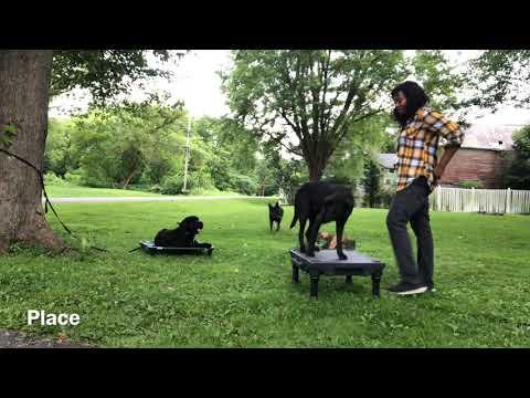 Niskayuna Dog Trainer/Albany Dog Trainer/3.5 Year Old Black Lab Mix, Cole
