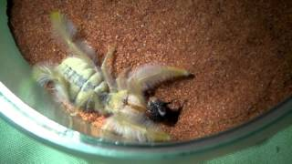 Fluffy Camel Spider (Update and Feeding!)