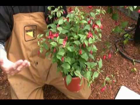 Tips to keep your Fuchsia blooming