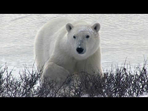 Polar Bear Country -- Churchill, Canada --2016 -- an Adventure