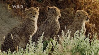 Złodziej pozbawił małe gepardy pożywienia! [Królestwo drapieżników]