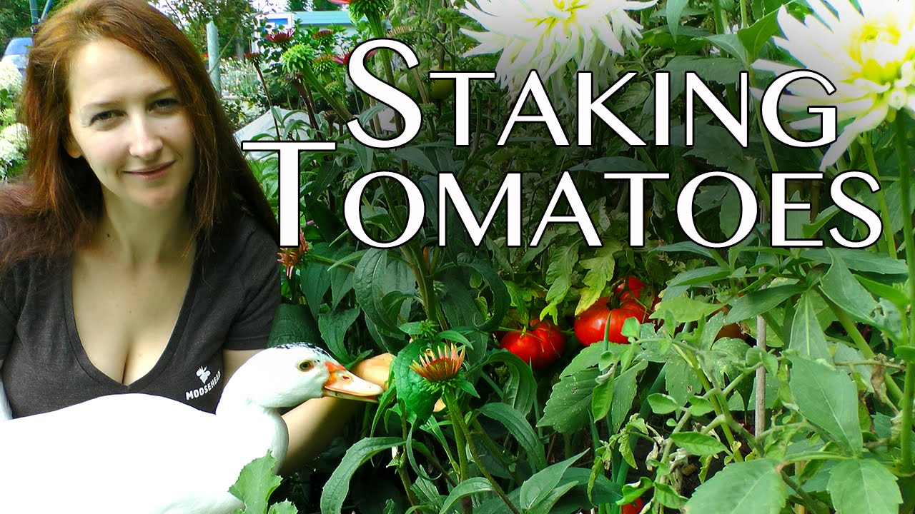 Tomatoes Staking Up Your Organic Gmo Free Tomato Plants