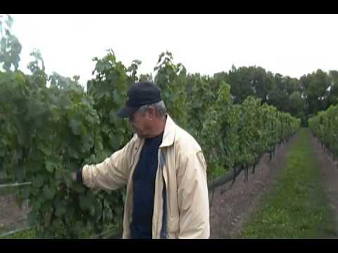 Veraison At Vineland Estates Winery