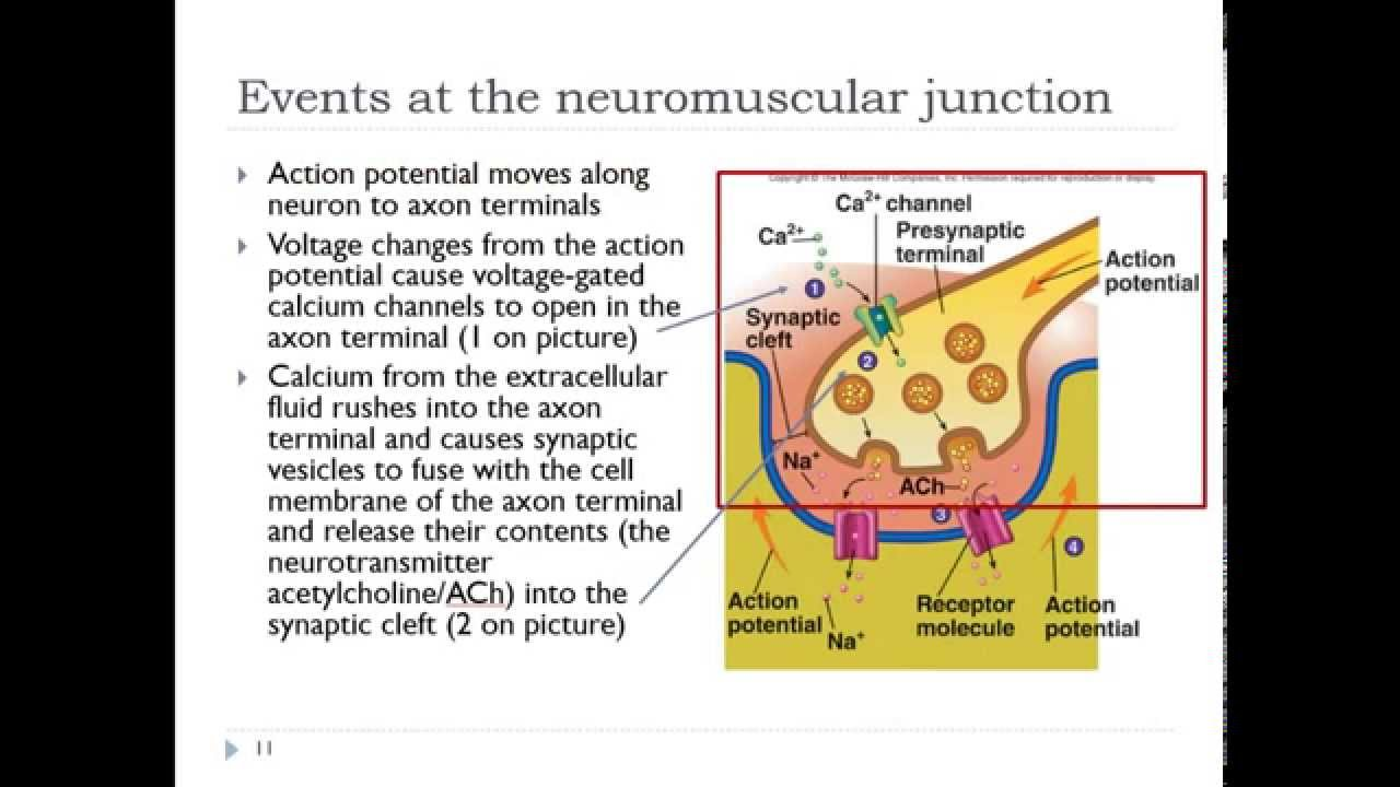 1) Excitation of neuromuscular junction - YouTube