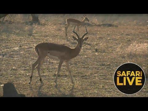 safariLIVE - Sunset Safari - November 11, 2018