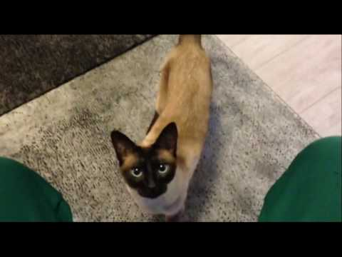 Siamese Cat - Draco - Wants something in the plastic box
