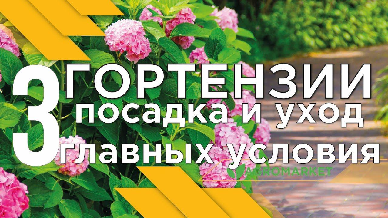 ГОРТЕНЗИИ посадка и уход. 3 ГЛАВНЫХ УСЛОВИЯ пышного цветения от АГРОМАРКЕТ
