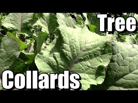 How to Propagate Tree Collards & Grow Them in Colder Climates