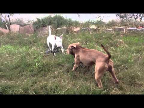 Bull terrier vs Pitbull cabo de guerra