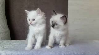 КОТЕНОК РЭГДОЛЛ. Питомник кошек РЭГДОЛЛ в Москве BlueBellDolls