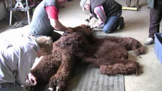 Circle R Ranch Alpacas Shearing Day