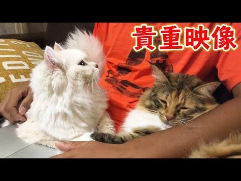 【貴重映像】猫が2匹同時に甘えてきたら大変!?