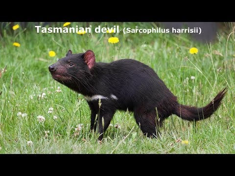 Animal Sounds And Pictures  Tasmanian Devil  Sounds And Pictures