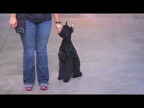 """Giant Schnauzer """"Jupiter"""" 9 Mo. Obedience Trained Home Raised Kid Friendly Dog For Sale"""