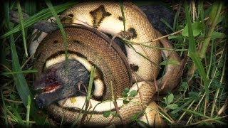 Python kills Pig 03 - Music