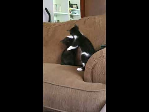 Catfight until dog breaks it up