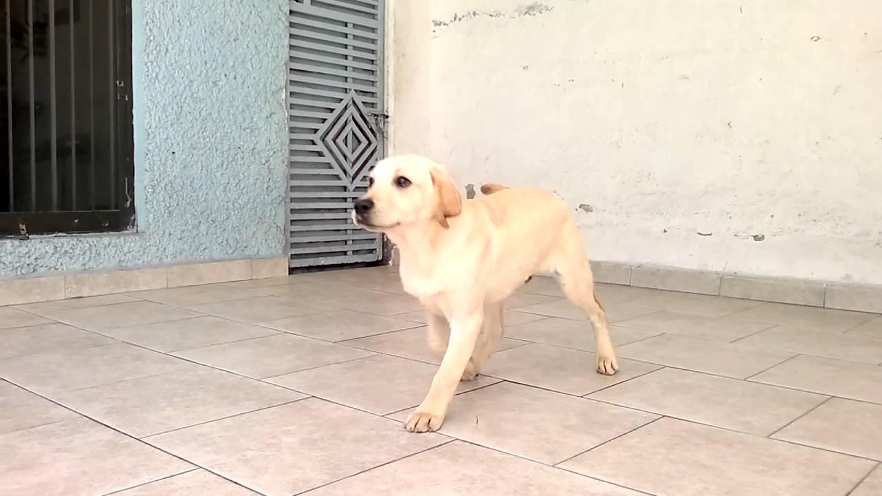 Cachorro labrador 6 meses youtube - Comida para cachorros de un mes ...