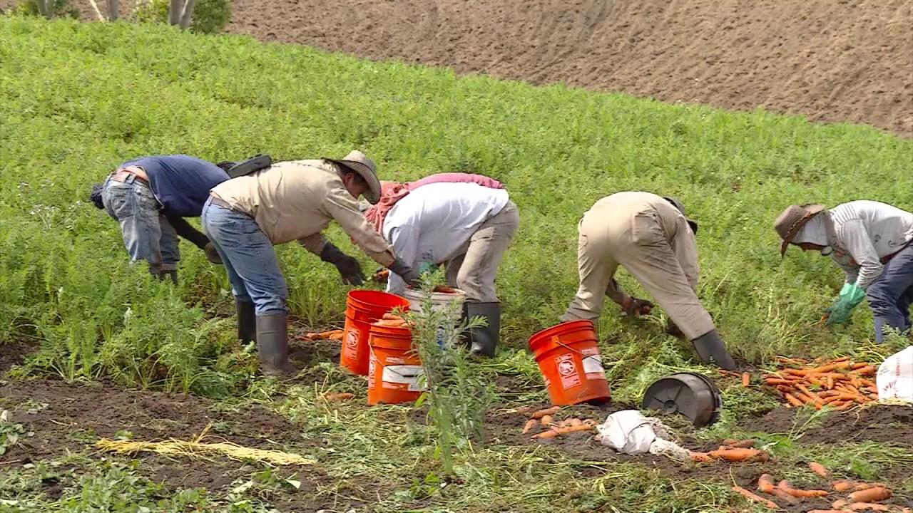 Resultado de imagen para cosecha de zanahoria