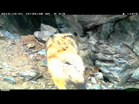 Improve Your World 44: Saving Snow Leopards