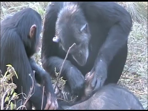 Chimp Funerary Rites Seen for the First Time