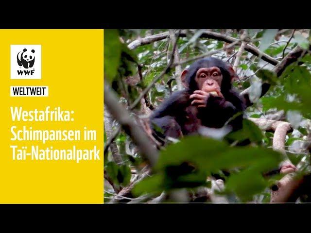 Westafrika: Schimpansen im Taï-Nationalpark   WWF weltweit
