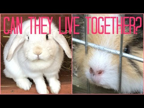 Can Rabbits and Guinea pigs Live together?