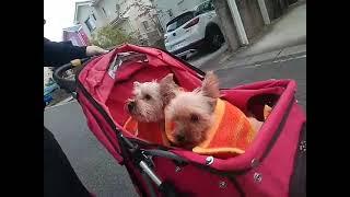 今まで1度もお散歩を経験したことのないDiaとRuby。まだ歩くのは無理そ...