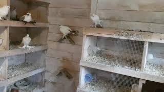 Jak zacząć hodowlę gołębi / Poradnik dla początkujących hodowców