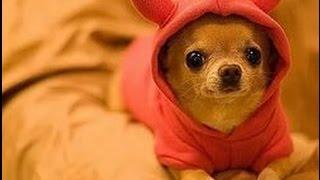 Самая быстрая собака  Чихуахуа ПРИКОЛ !!!The fastest dog Chihuahua FUNNY !!!